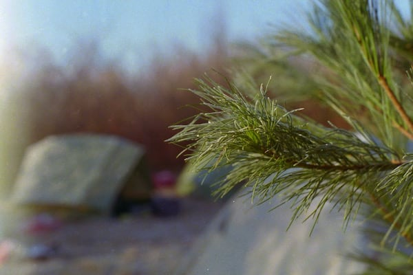 Conifer branch at the campground